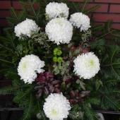 Wiązanka sezonowa z kwiatów żywych na gąbce florystycznej; wielkość: średnia; 7 śnieżnobiałych chryzantem, podkład jodłowy, zieleń dekoracyjna.